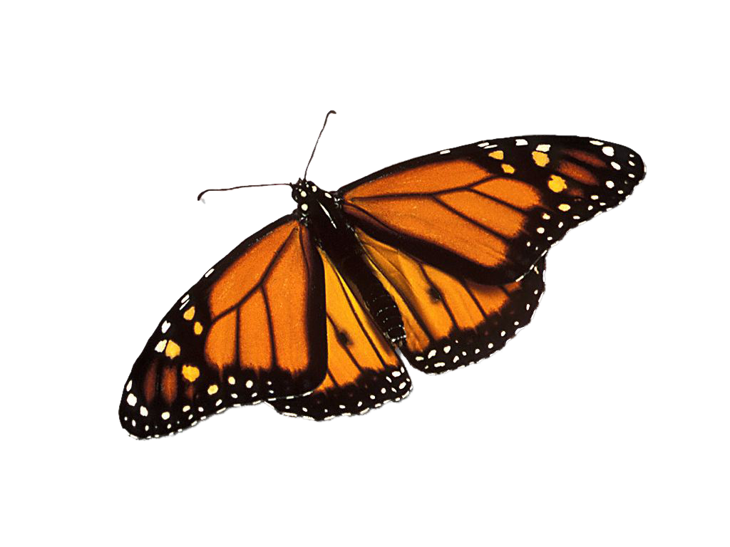 Monarch Butterfly Png - photo#39