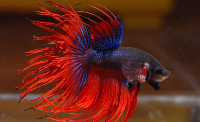 Cara Membedakan Ikan Cupang Jantan dan Betina