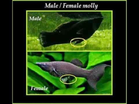 Remarkable, rather male and female molly fish
