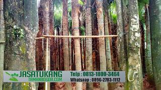 Jual Pohon Palem Sadeng,Livistona Rotundifola,Jual Pohon Palem Sadeng Harga Terjangkau