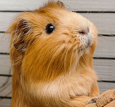 Simple Care Grooming for the Guinea Pigs