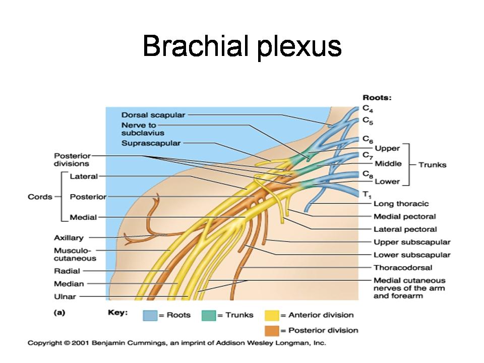 Blood Supply, Venous drainage, surface anatomy and Nerve ... Brachial Region