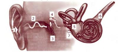 Jalan gelombang bunyi dalam telinga