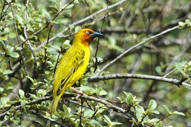 sudafrican birds Cape Weaver