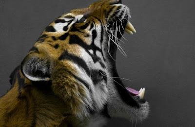 Tanda Bahwa Sebenarnya Kamu Masih Mempunyai Garis Keturunan Manusia Harimau
