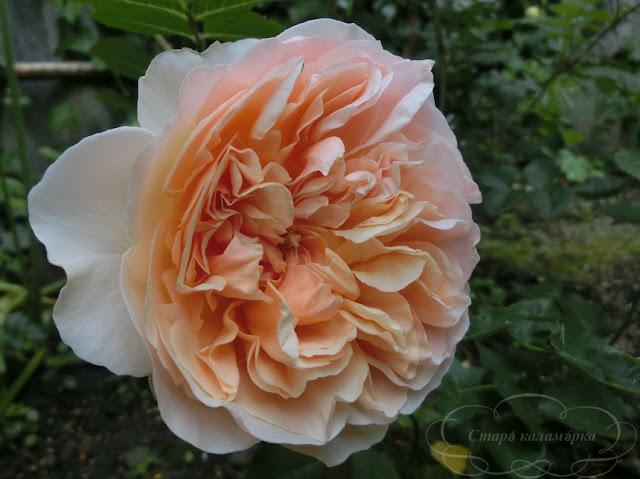 роза Эвелин, розы, розарии, сад и розы