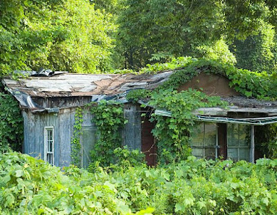 Kudzu vine covering an abandoned house, trees, and area around the home.