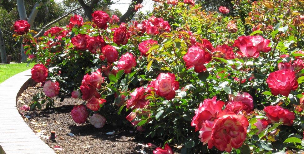 Hoa hồng là loài hoa được yêu thích và phổ biến nhất trên thế giới