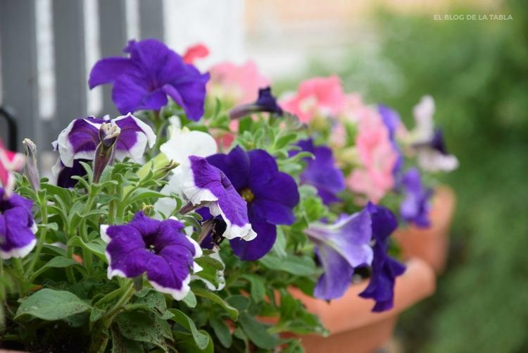 petunia hibrida flores azul y blanco