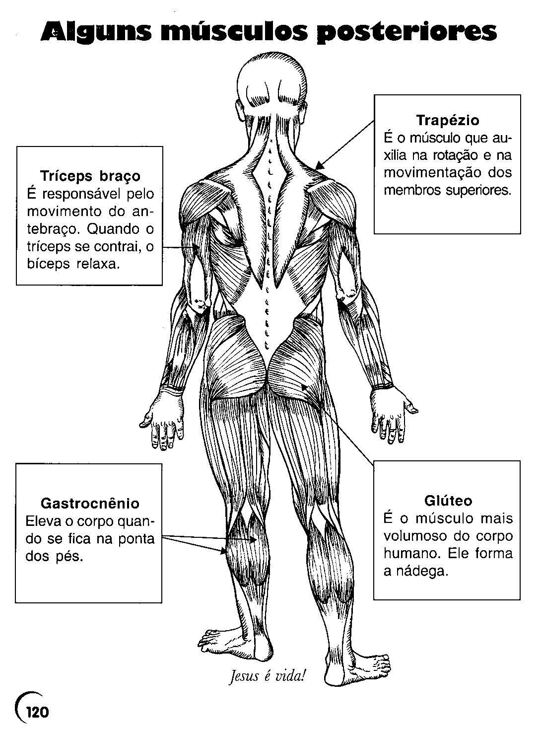 Dorable Músculos Humanos Para Colorear Foto - Imágenes de Anatomía ...