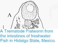 http://sciencythoughts.blogspot.co.uk/2015/03/a-trematode-flatworm-from-intestines-of.html