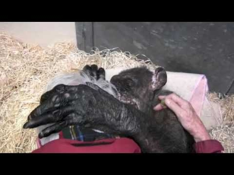 59-Year-Old Very Sick Chimpanzee Refuses Food, Until She Re-Unites With Her Old Caretaker