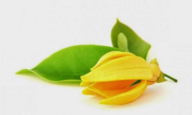 Cara Penanaman Bunga Kenanga