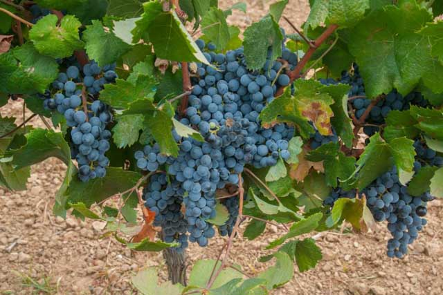 Jerez xeres sherry tintilla de rota - Difference between wine grapes and table grapes ...