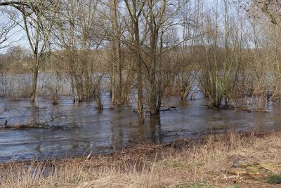 Viele, noch kahle Bäume stehen im Wasser - der Rhein hat Hochwasser