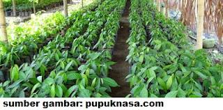 bibit tanaman kakao
