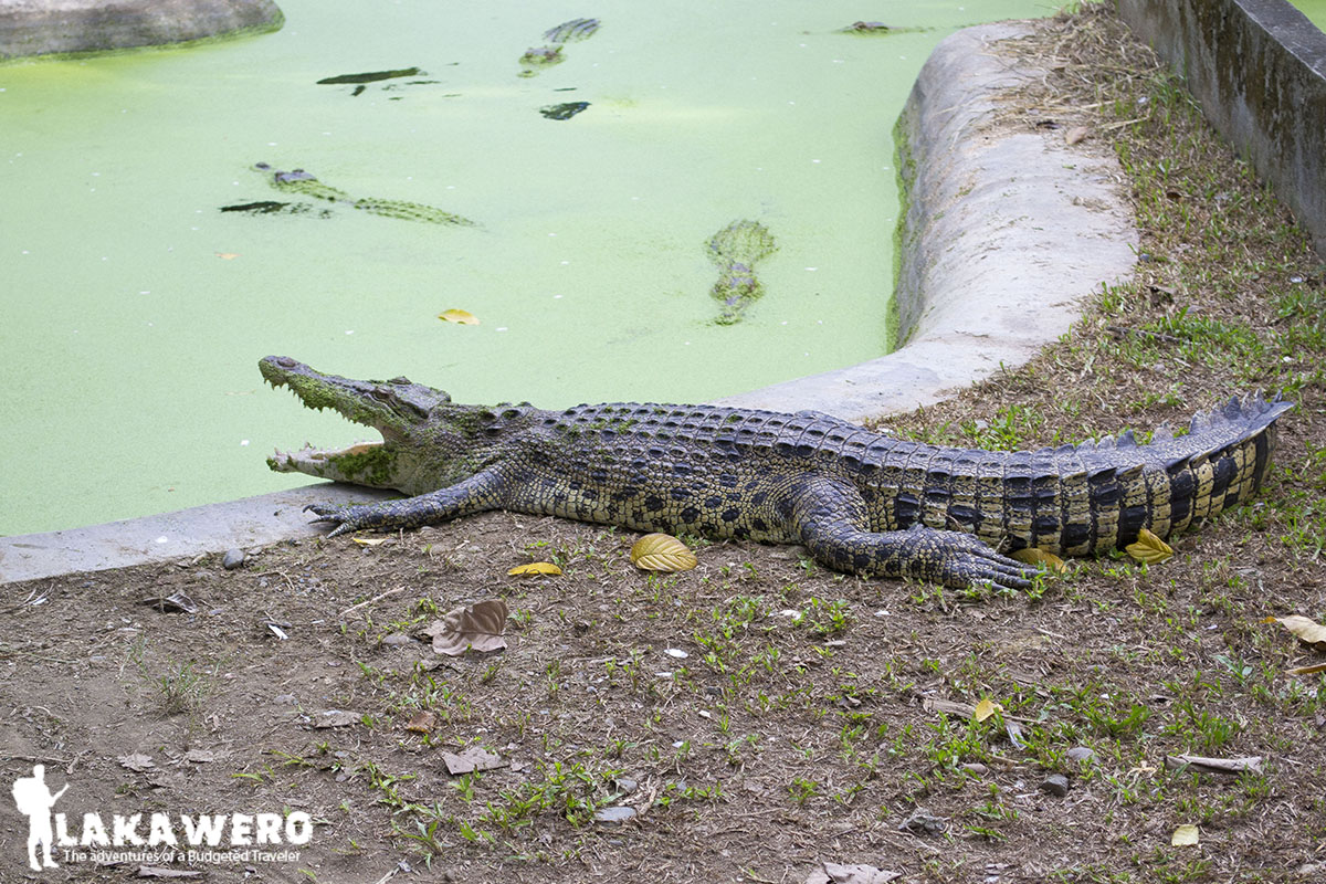 Resting crocodile at Davao Crocodile Park