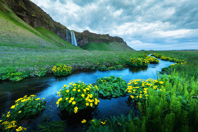 Seljalandfoss in the distance with yellow wildflowers during Iceland in the summer