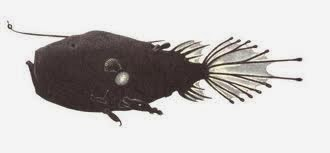 """""""Diabla marina"""" con diversos machos parásitos"""