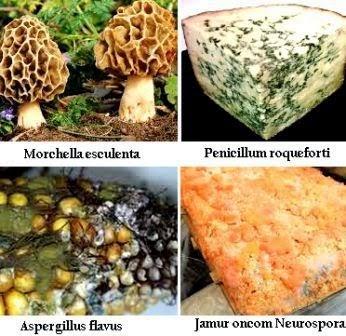Contoh-contoh Ascomycota ada yang memberikan memberikan manfaat dan kerugian bagi manusia atau tidak dapat dikonsumsi