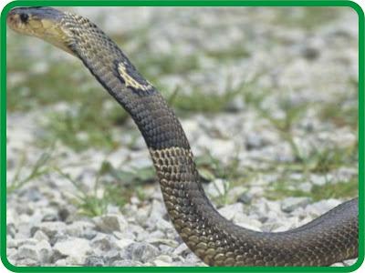Cobras escape in China