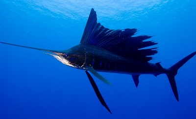 Binatang Berwarna Unik ( Sailfish )
