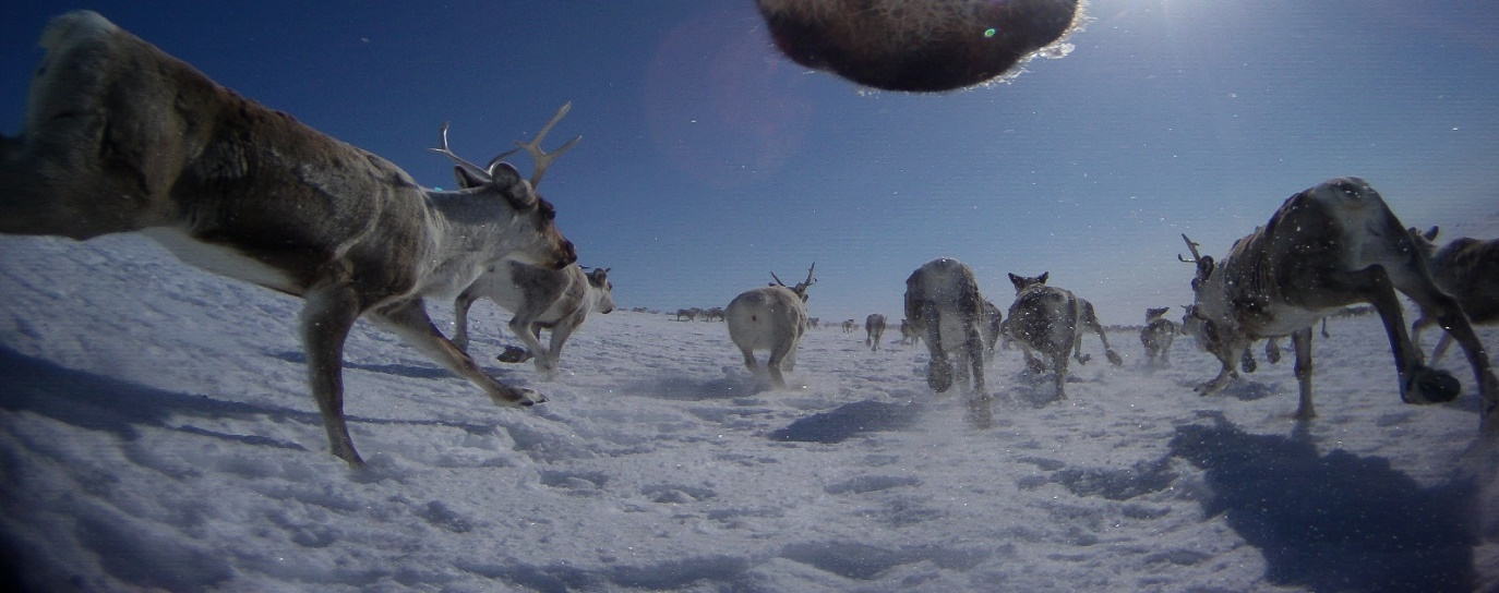 Swedish society Oikos: PhD and postdoc in reindeer ecology