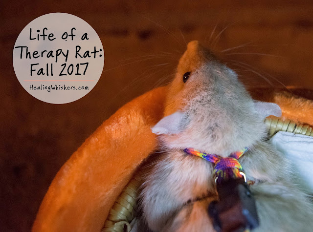 Life of a Therapy Rat: Fall 2017