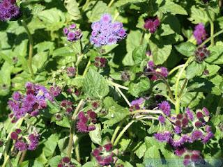 Ageratum x hybridum 'Red sea'