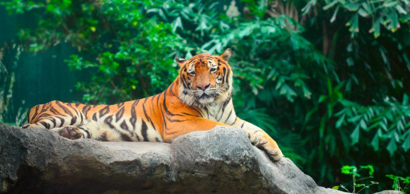 essay on tiger Passionate about cat welfare