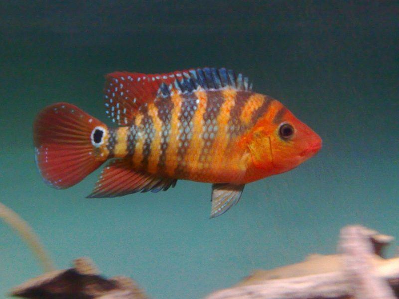 Gambar Ikan Hias Air Payau-Mayan cichlid or Mexican mojarra