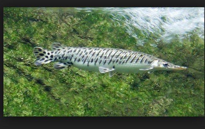 harga ikan aligator besar