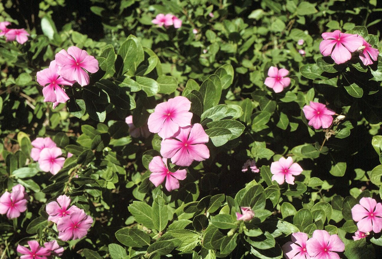 Peces y plantas ornamentales septiembre 2013 for Plantas ornamentales con flores