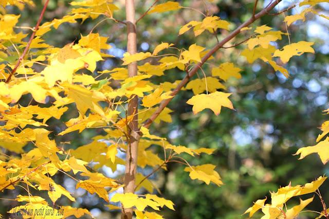 acer cappadocicum aureum jaune doré