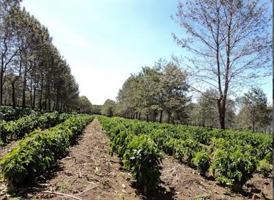 cara merawat tanaman kopi
