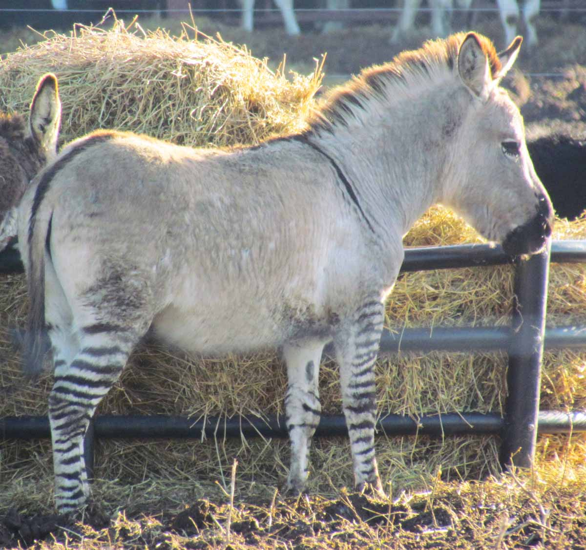 The Agatelady: Adventures And Events: Unusual Zebroid And