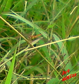 Capung kuning. Kehijauan Rerumputan dan Dedaunan - Greeny Grasses