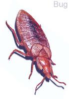 Bug, ছারপোকা, মৎকুণ
