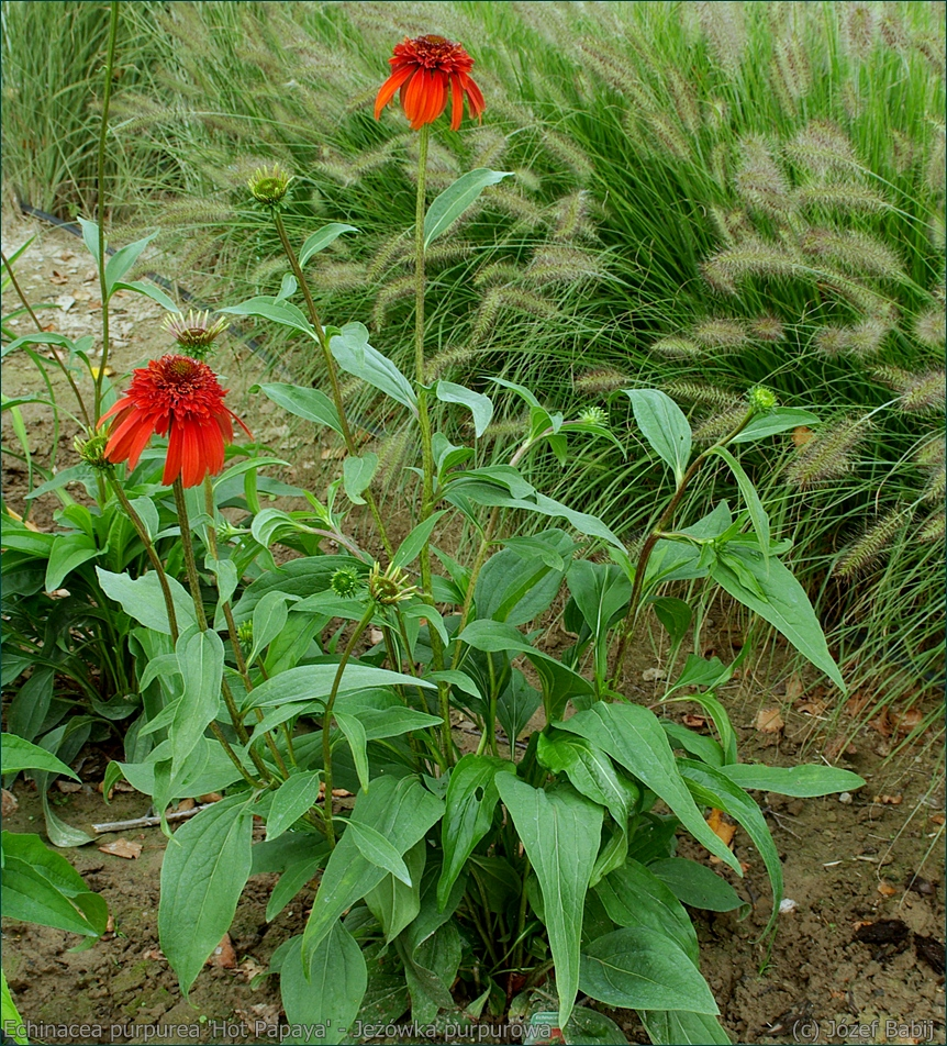 Echinacea purpurea 'Hot Papaya' - Jeżówka purpurowa