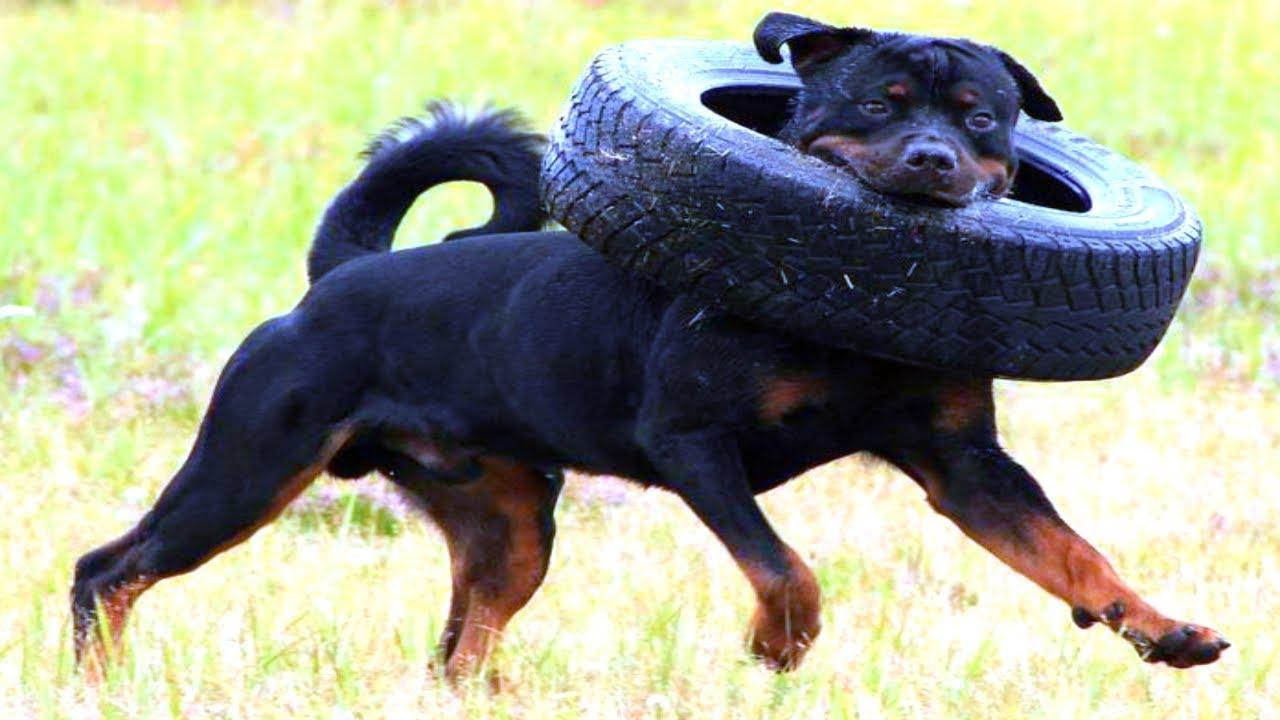 [صورة مرفقة: Rottweiler%2Bdog4.jpg]