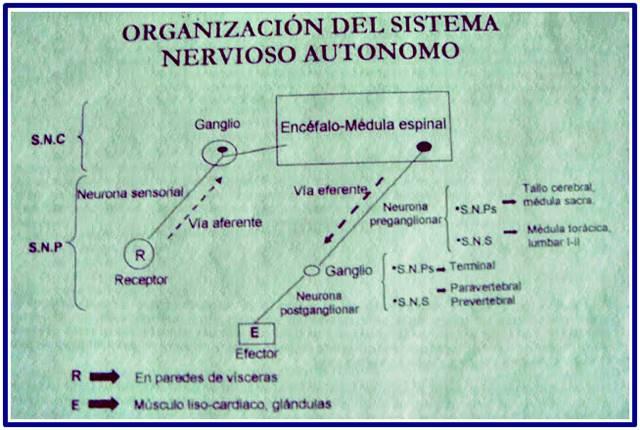 Organización del sistema nervioso autónomo