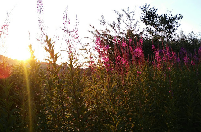 fireweed flowers and sunrise