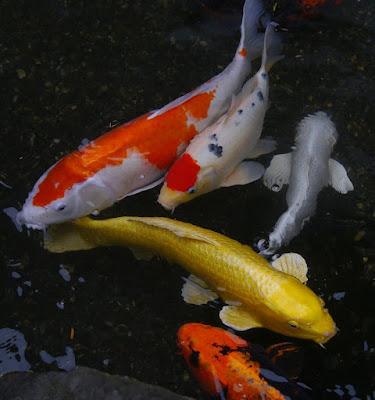 4 Cara Sukses Budidaya Ikan Koi Untuk Usaha