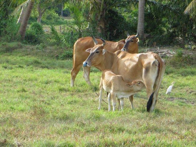 Две коровы и теленок