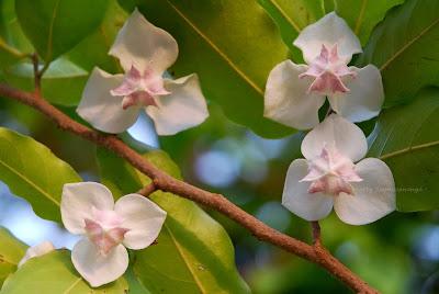 พรหมขาว ไม้ดอกหอมพื้นเมืองของไทย ดอกสีขาว