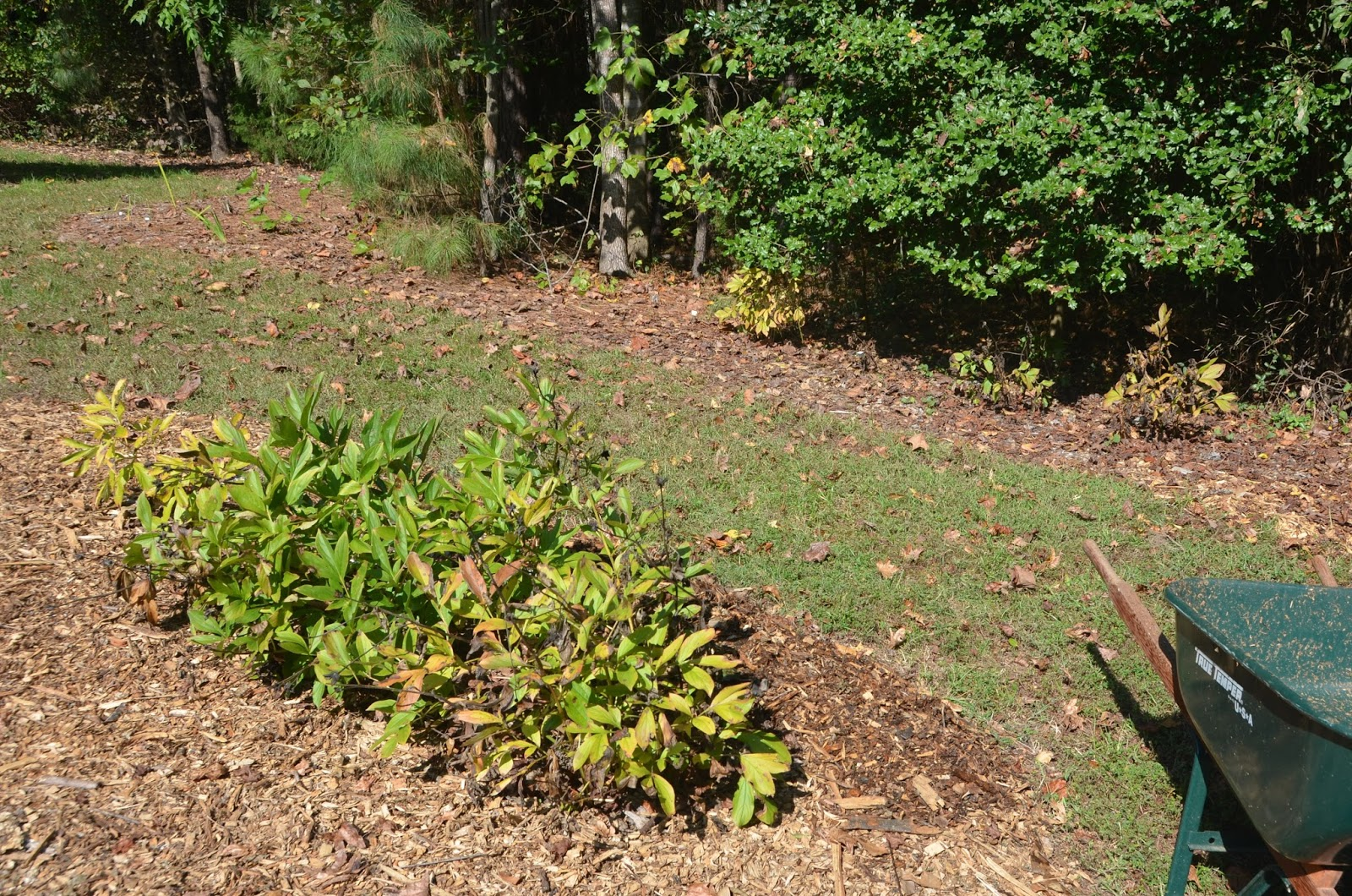 Southern Peony 2015 Southern Peony Big Dig Part Shade To Full Sun