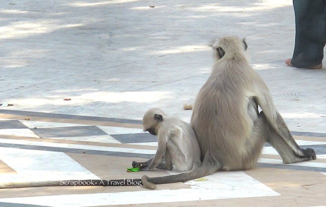 Urban Wildlife Monkeys