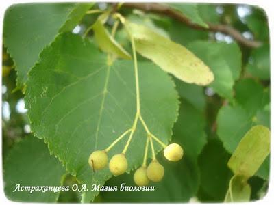 липа, орешки, зеленое, лето, магия биологии