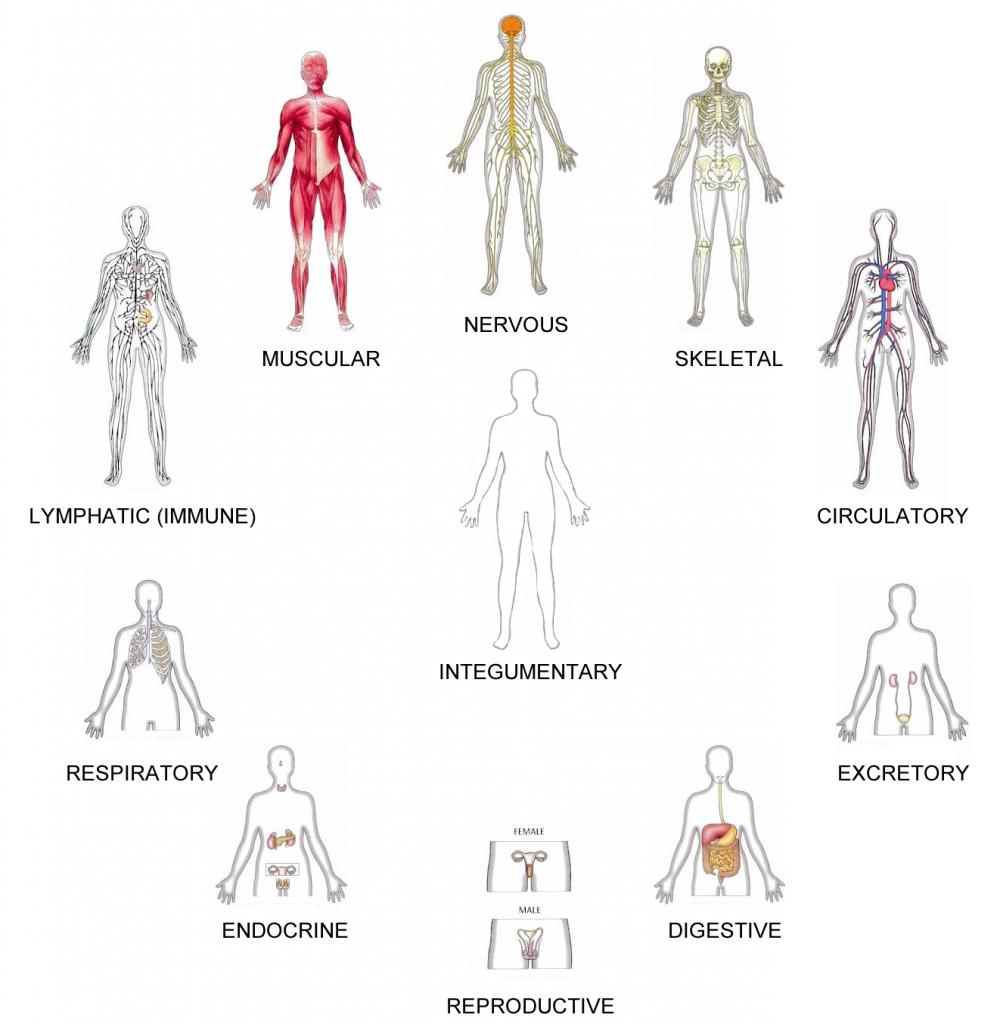 Human Body Organ Systems Worksheet