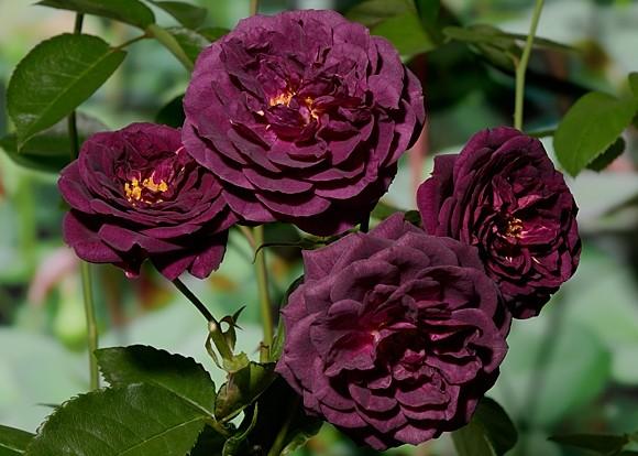 Ebb Tide rose сорт розы